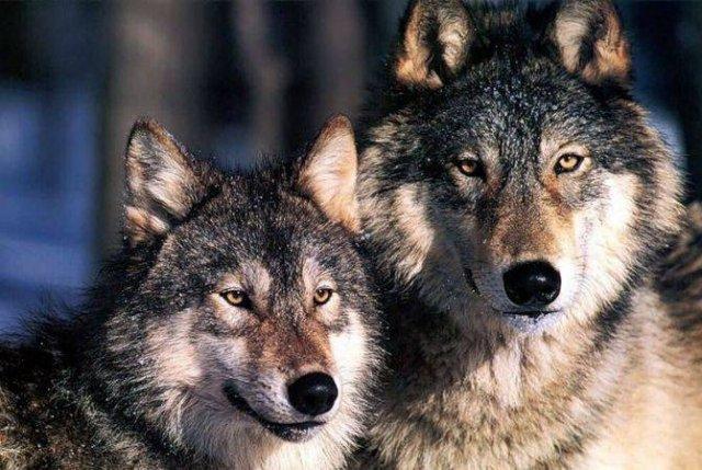 Волки в Лорийской области растерзали мелкий рогатый скот