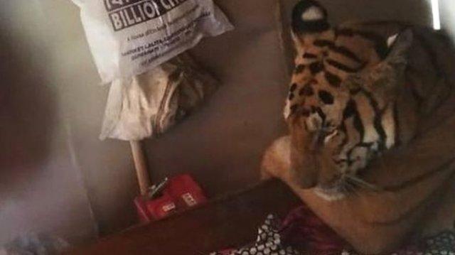 В Индии тигрица пришла в жилище и легла спать в постель