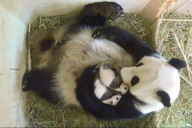 В крупнейшем зоопарке Бельгии родились панды-двойняшки