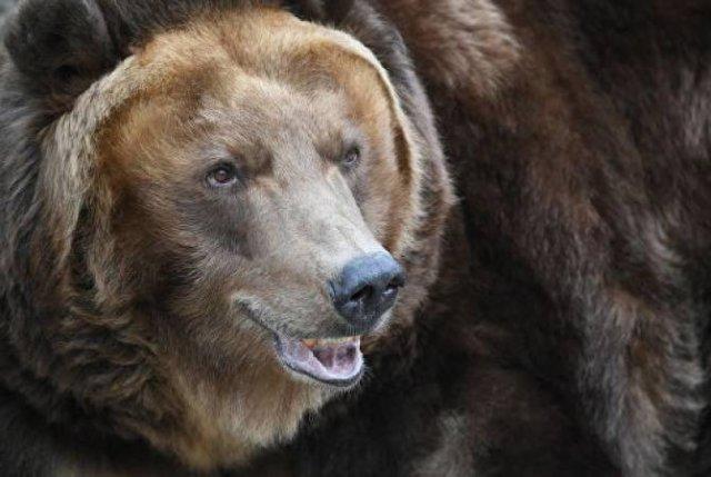 Гуляющий по улицам медведь напугал жителей итальянского города