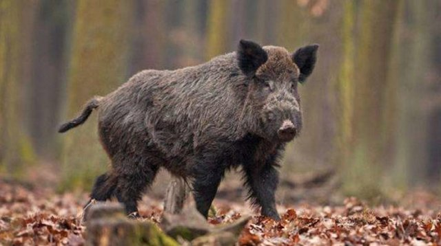 Дикие свиньи растерзали пенсионерку в США
